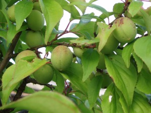 Fruits_of_Japanese_plum