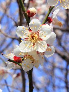 449px-Prunus_mume